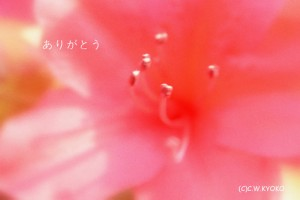 ありがとうポストカード(つつじ)2011[1]